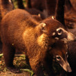 Band of White-Nosed Coatis — Stock Photo