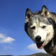 Husky Smile — Stock Photo