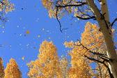 Golden Aspen Leaves Raining Down — Stock Photo