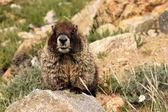 Colorado Marmot — Stock Photo