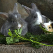 Stock fotografie: Three rabbit eating