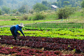 Hydroponics vegetables — Stock Photo