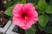Pink blossm chinese rose in garden — Stockfoto