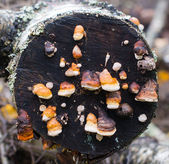 Mushrooms on a tree. — Stock Photo