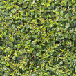 Green leaves wall for background or texture — Stock Photo