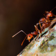 Stock Photo: Red Ant
