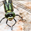 Green Dragon Fly. — Foto Stock #36640795