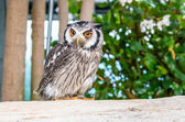 Owl bird. — Stock Photo