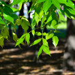 Branch with green leaves on a background of park. — Stock Photo