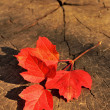 Branch with red autumn leaves on a wooden background — Stock Photo