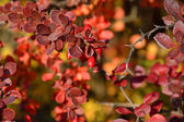 Branch with berries of barberry — Stock Photo