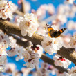Butterfly on a flowering branch of apricot, bokeh — Stock Photo #44163095