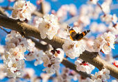Butterfly on a flowering branch of apricot, bokeh — Stock fotografie