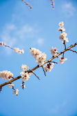 Flowering branch of apricot  — Stock Photo