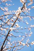 Rama floral de albaricoque — Foto de Stock