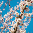 Butterfly on a flowering branch of apricot — Stock Photo #44667169