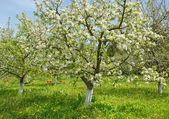 Blooming garden in spring — Stock Photo