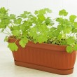 Parsley in pot on windowsill — Stock Photo