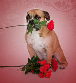 Bulldog and flowers for Valentine's Day — Stock Photo