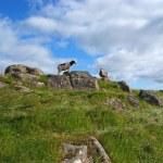 Sheep on Mykines, Faroe Islands — Stock Photo #49636253