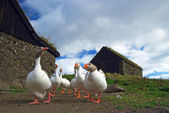 Group of white-grey goose in Faroe — Stock Photo