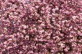 Beautiful flowering Japanese cherry - Sakura — Stock Photo
