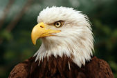 Portrait of a bald eagle — Stock fotografie
