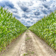 Agricultural field on which the green corn grows — Stockfoto #51773555