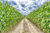 Agricultural field on which the green corn grows — Stock Photo