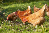 Flock of chickens — Stock Photo