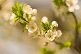 Plum tree — Stock Photo