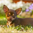 Chihuahua — Stock Photo #33591945