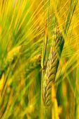 Spring grain — Stock Photo