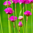 Small pink flowers — Stock Photo #34715135