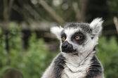 Ring tailed Lemur portrait — Stock Photo