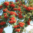 Clusters of mountain ash — Stock Photo