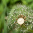 Dandelion losing its seeds — Stock Photo #36848415