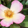 Eglantine Sweet briar flower blossom — Stock Photo