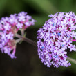 Violet Verbena Vervain flower bunch — Stock Photo