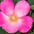 Stock Photo: Eglantine Sweet briar flower blossom