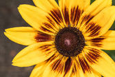Detailed closeup photo of sunflower in garden — Stock Photo