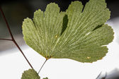 Leaf with fine detail — Stock Photo