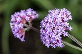 バイオレット バーベナ クマツヅラ花の束 — ストック写真