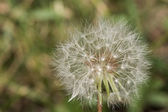 Dandelion losing its seeds — Stock Photo
