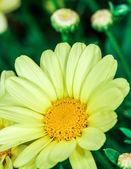 Leucantehmum flower blooming in summer time — Stock Photo