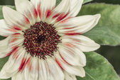 Daisy flower blossom in summer time — Stock Photo