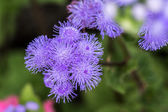 Bunch of thistle flower in summer time — Stock Photo