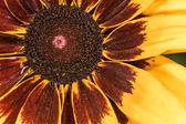 Detailed closeup photo of sunflower in garden — Stock Photo