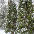 Stock Photo: Snow fall on pine trees