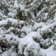 Stock Photo: Snow fall on pine tree